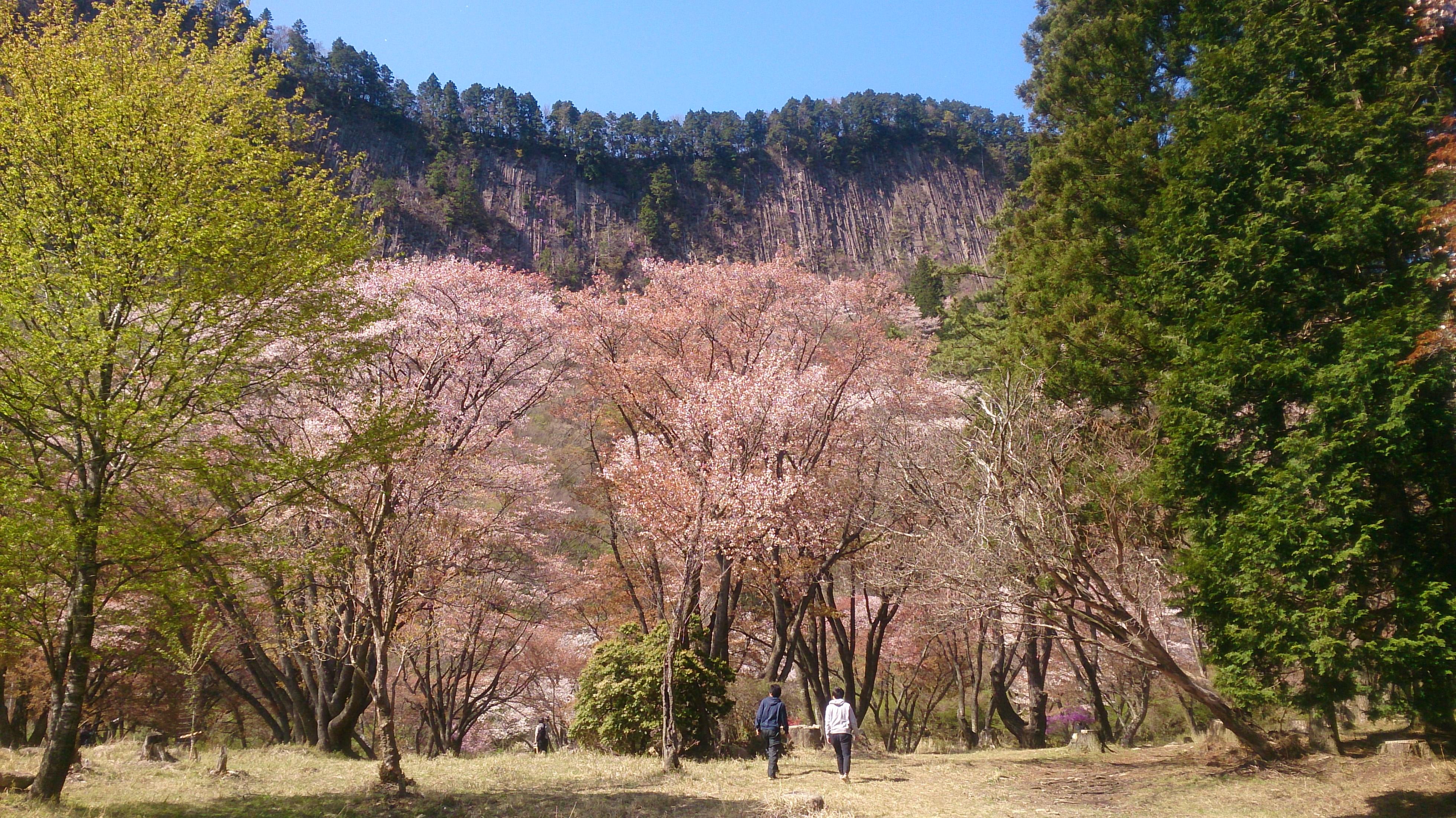 2017sakura.JPG